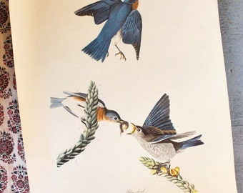 vintage Audubon bird print - Blue Bird