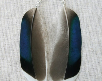 Unusual blue Mallard duck feather earrings