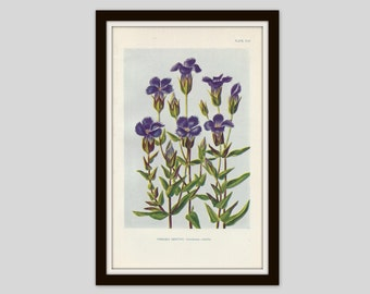 Antique Botanical Print, Fringed Gentian, Cottage Decor, Vintage Wildflower, Victorian Lithograph, Original Print, Purple Flower, Plate CLII