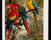 1889 MACAW Antique print, lovely multicolored parrots in the jungle forest