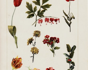 1903 Antique FLOWERS print, red flowers, Tulip, poppy, pink. Florist, gardener. Chromolithograph, 12 x 9 inches