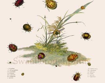 Insect Print of Ladybirds. Ladybird Print from Antique Engraving. Gift for Ladybird Lover. Entomology Insect Print. Watercolor Art Work.