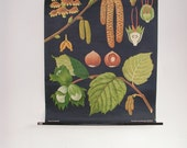 Vintage Pull Down School Chart, Botanical Print, Hazel Tree, Jung Koch Quentell, Forest