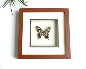 Vintage butterfly taxidermy, cabinet of curiosities - 1960s