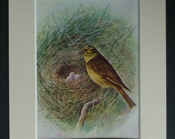 1950s Vintage Yellow Bunting Print, Available Framed, Bird Nest Art, Corn Bunting Gift, Yellowhammer Picture, Pine Bunting Decor, Cirl Decor