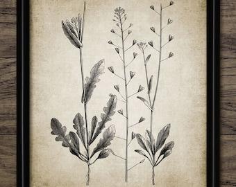 Shepherd's Purse Print - Plant Illustration - Plant Art - Plant Decor - Digital Art - Printable Art - Single Print #251 - INSTANT DOWNLOAD