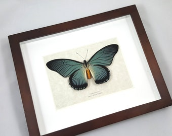 FREE SHIPPING Real Framed Papilio Zalmoxis Giant Blue Swallowtail Butterfly Taxidermy High Quality A1