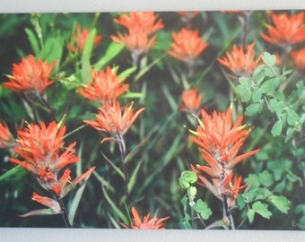 Indian Paintbrush - Crested Butte, CO