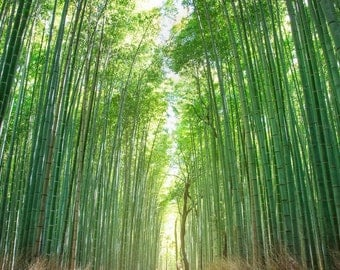 Bamboo Forest Kyoto Japan Photography Print