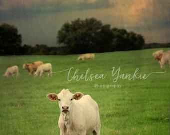 White Calf Before the Storm-  Fine Art Print