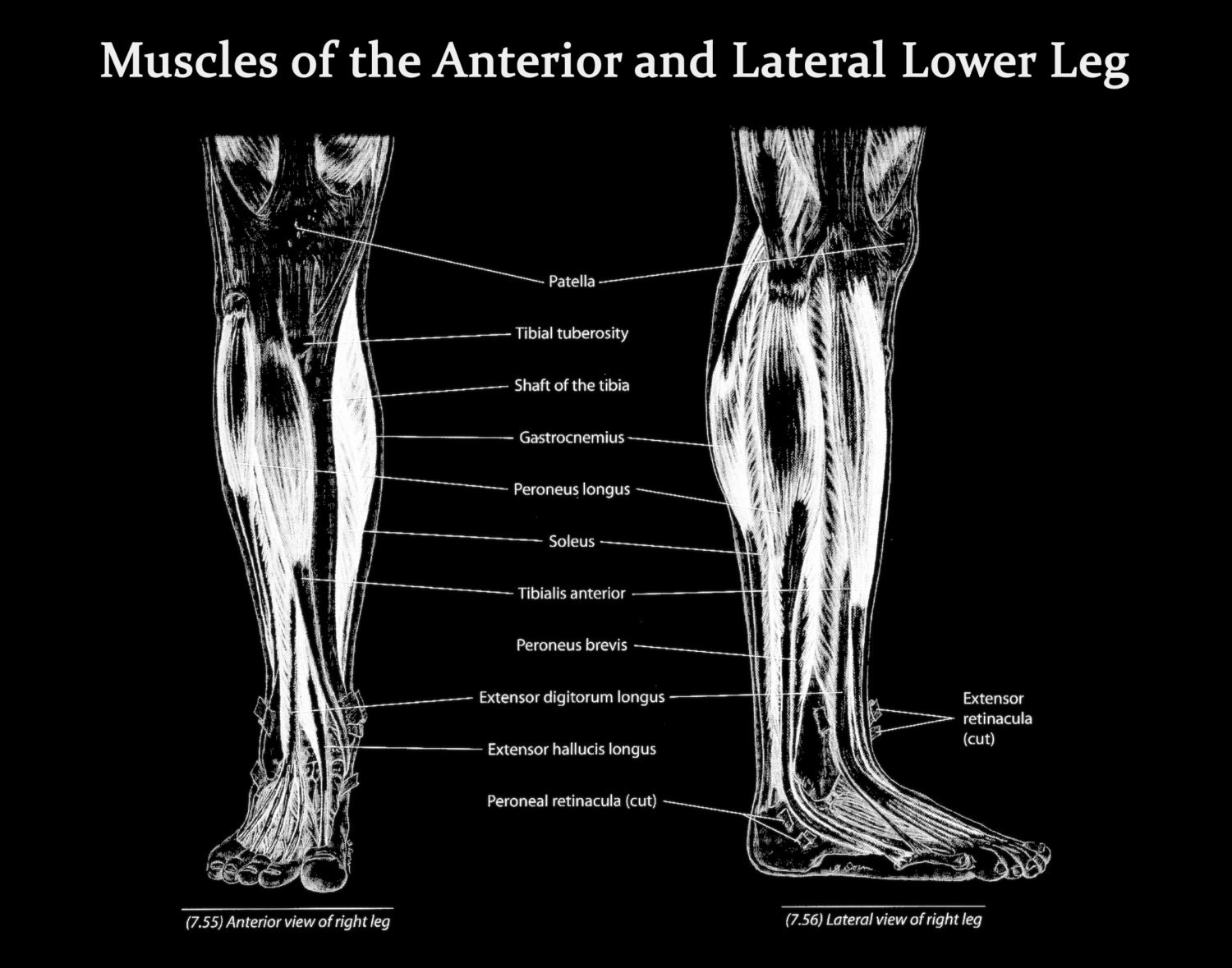 anatomy notes the anterior and medial