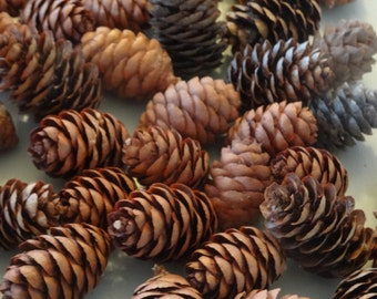Small Red Spruce Cones 50