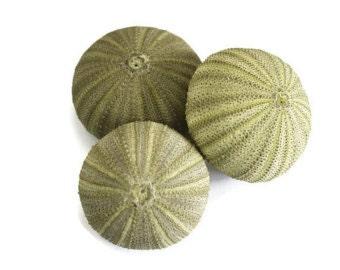 Sea Urchin Packs   Air plant holder