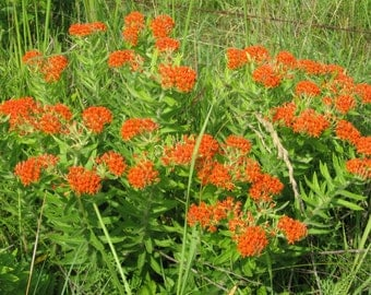 50 Butterfly Weed Seeds (chemical free)