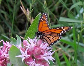 Showy Milkweed (10 thru 1600 seeds) butterflies weed greek monarch ST#243