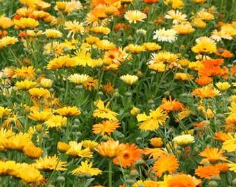 Calendula Pacific Beauty Mix (100, 200,12,500 seeds) bulk pot marigold ST#246