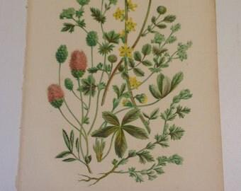 Anne Pratt 1889 Lithograph