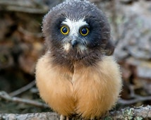 Baby Saw-whet Owl, Tiny Owl, Cute Owl Print, Owlet, Fledging, Bird Photography, Muppet, Cute Owl, Tiny Owl Photo, Adorable, Small Owl, Owl
