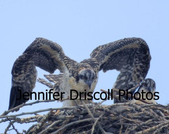 Phoenix 5 X 7 digital print (birds, chicks, osprey, Missoula, Montana, wings)