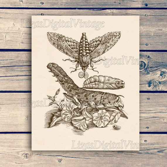 Insect art, Moth, Entomology art, Antique insect print, Insect print vintage, Moth print, Printable, Maria Sibylla Merian Reproduction, JPG