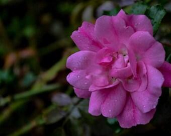 Photograghy - Pink Rose, Flower Photograph, floral wall art