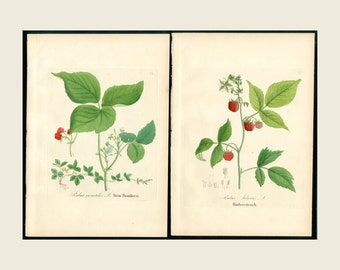 1880 2x Red Raspberry etc.  Dietrich Forest Flora Hand Color Copper Plate Engraving Authentic Antique Forest Botanical Prints 2 Prints