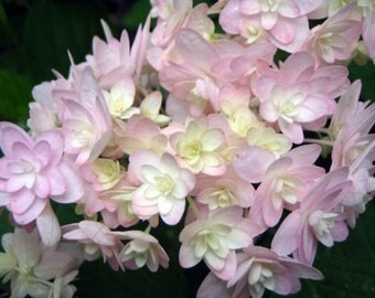 Hydrangea serrata 'Can Can'