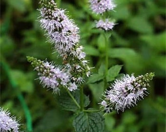 Peppermint Herb Seeds/Mentha Piperita/Perennial    100+