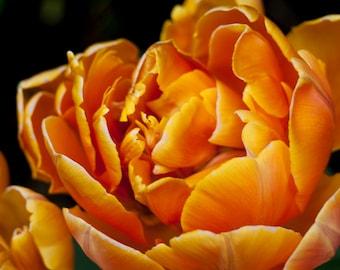 Orange Bloom Download