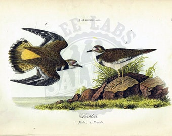 Original 1888 Chromolithograph Print of Kildeer