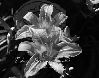 Black and White Photography | Tiger Lilies