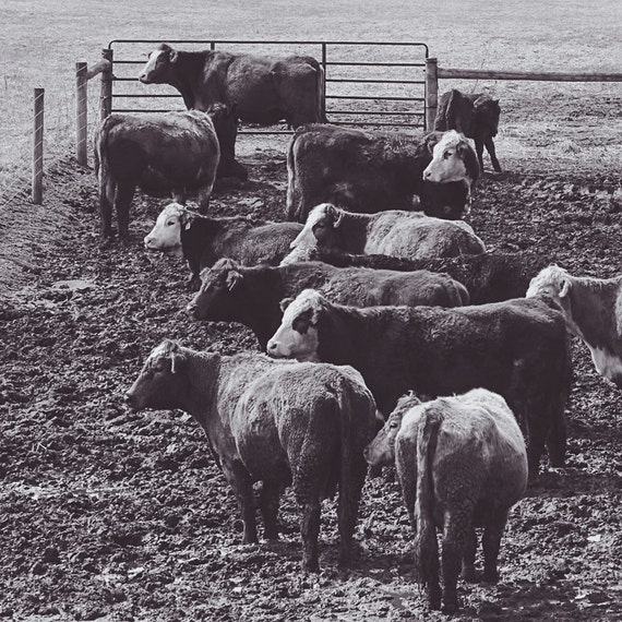 Cattle Gathering Photograph - Fine Art Print - Black White Photo - Home Wall Decor - Cow Pictures - Farm House Decor - Cows - Rustic - Gifts