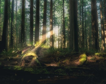 California Redwoods - Canvas Print