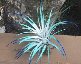 """Tillandsia Air a Plant Fairy Garden Bursting With Color!  5""""-7"""" Wide Fairy Garden Fantasy"""