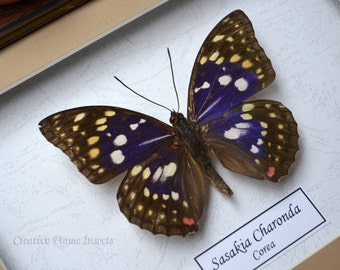Real Butterfly Purple Emperor  Sasakia Charonda In Quality Shadowbox