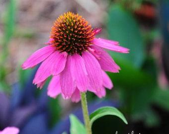 Purple Coneflower Print, Coneflower Photography, Daisy Flowers, Summer Flowers,