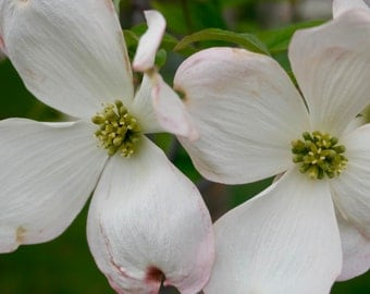 White Dogwood Photograph