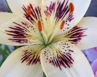 Purple White Beauty