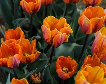 Vivid Orange Tulips