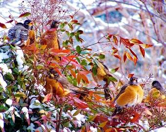 Spring Snow 7 Robins