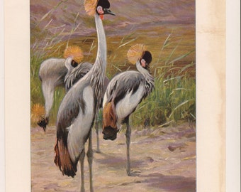 1916 CRANES Antique Print  7.5 X 11 INCHES