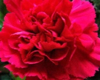 30+ Scarlet Red Carnation / Perennial Flower Seeds