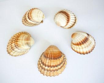5 pcs natural Seashells, Wedding Decor , Marine Home Decor Shell , Beach wedding, Craft seashells, Shells for crafting
