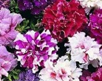 Petunia F1 Double Glorious Mix 15 Seeds - Superior Branching, More Flowers