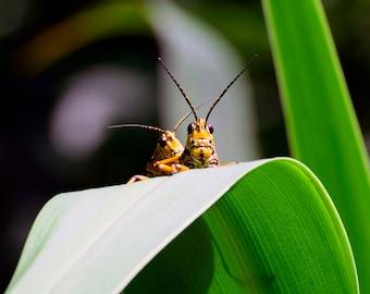 Digital Download,Florida Eastern Lubber Grasshopper