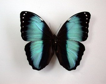 Real Morpho achilles Butterfly, spread for your project or laminated or unmounted