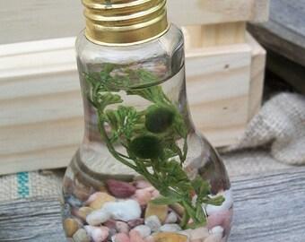 double marimo lightbulb aquascape jar