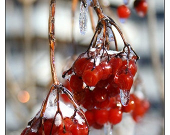 Frozen Berries - Original Photography Postcard by Christina Stoppa, Ontario, Canada