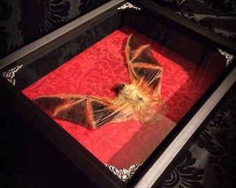 LAST ONE 8x10 Real Bat Shadow Box - Taxidermy Bat Decoration - Gothic Gift - Gothic Decor - Halloween Decoration - Spooky - Horror