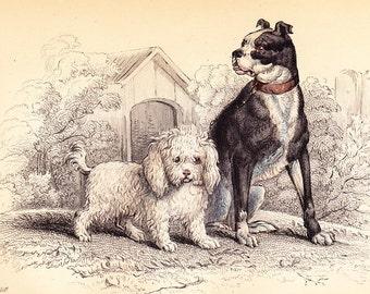 Poodle and Bull Dog . Antique Art Dog Print vol II . original hand coloured engraving circa 1850